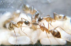 Tapi itu tidak semua semut baru lahir masih belum bisa bergerak sendiri, kaki kumal dan antena Sekarang saatnya meluruskan kaki dan menjilat.