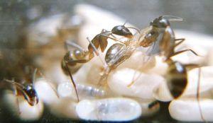 Dan, lihatlah, ia pergi! semut baru lahir tidak mampu berjalan, mereka terhuyung- huyung, terjerat pada kaki dan terus jatuh, seperti . tapi setelah beberapa jam baru akan mampu mengontrol kakinya dengan baik.